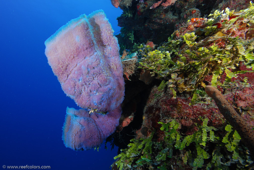Azure Vase Sponge Callyspongia Plicifera Colors Of The Reef