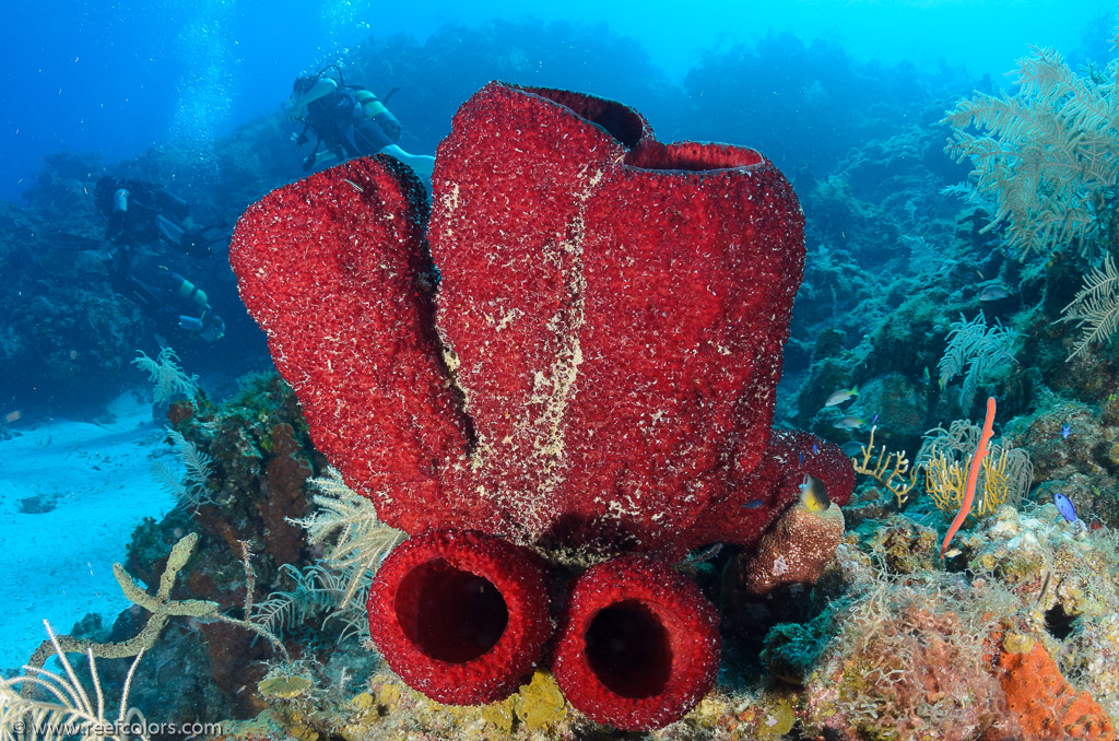 Strawberry Vase Sponge Mycale Laxissima Colors Of The Reef